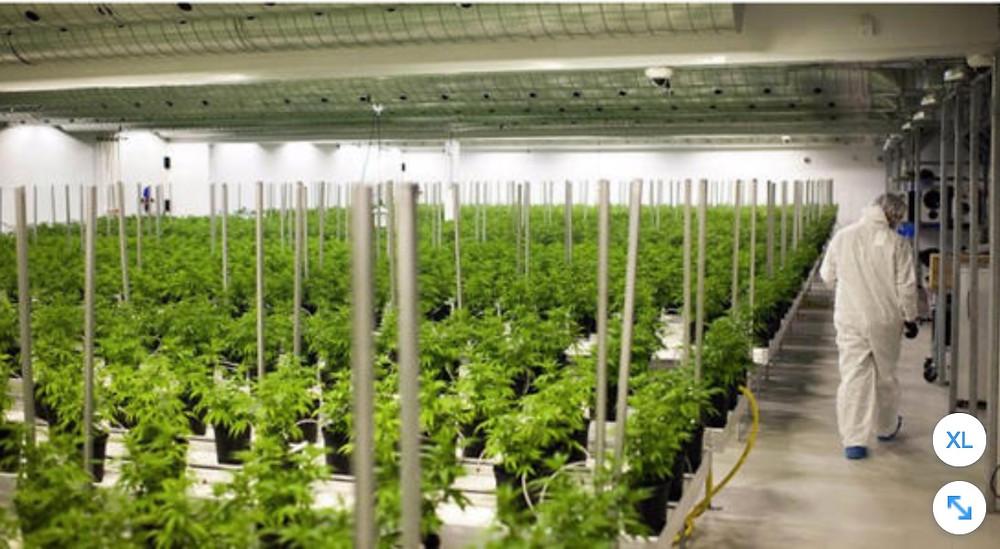 District Gardens, Cannabis, Canada