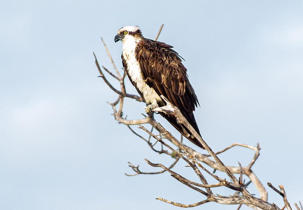 Osprey sitting on a dead tree looking over the water