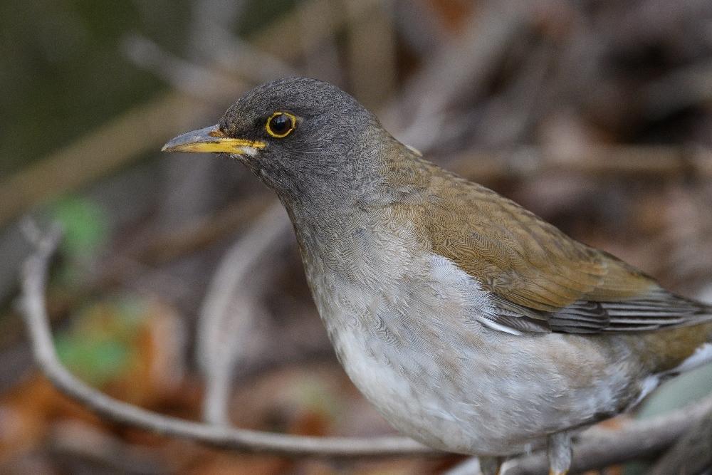 シロハラ / Pale thrush