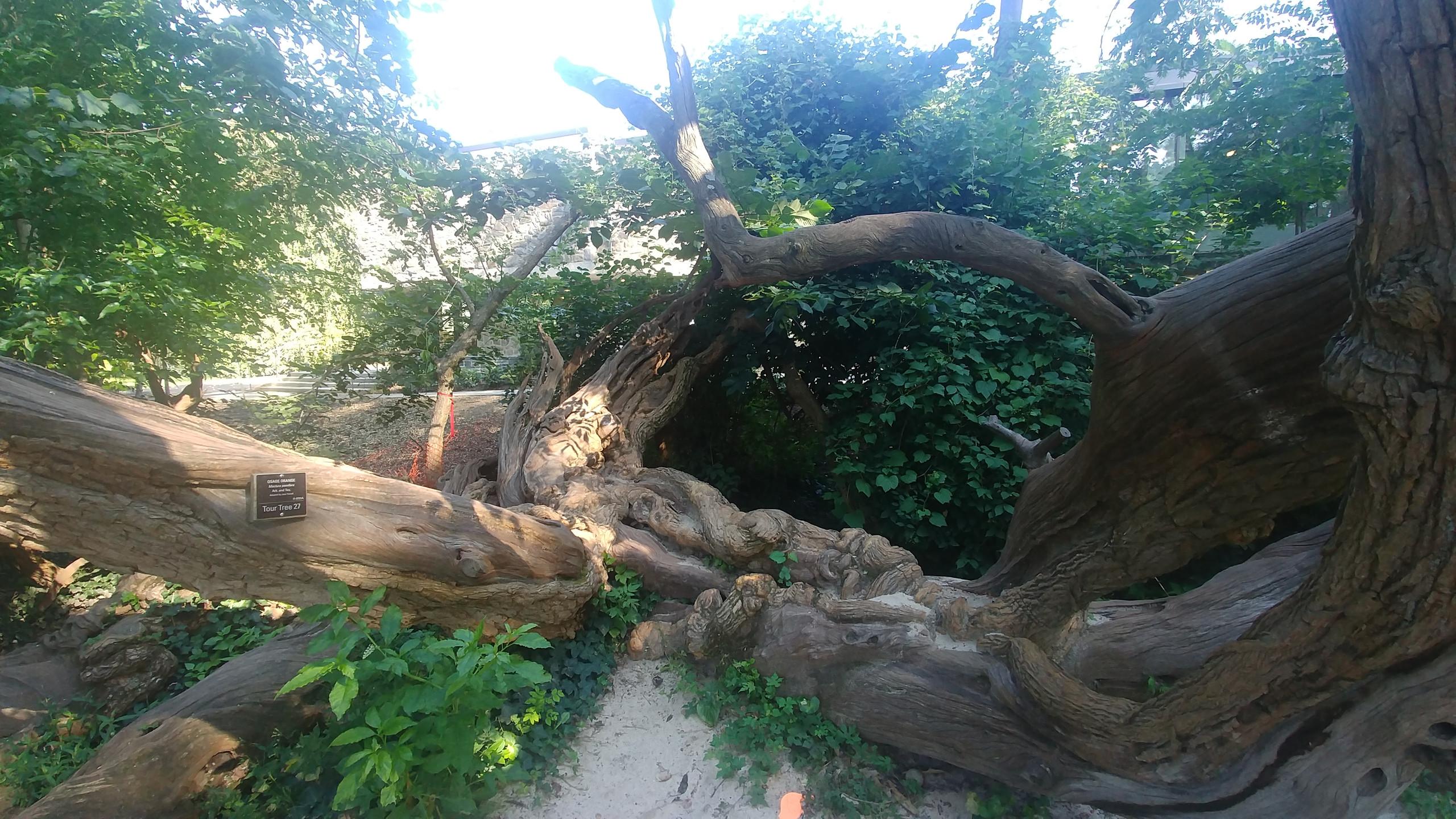 The osage orange tree from 1840