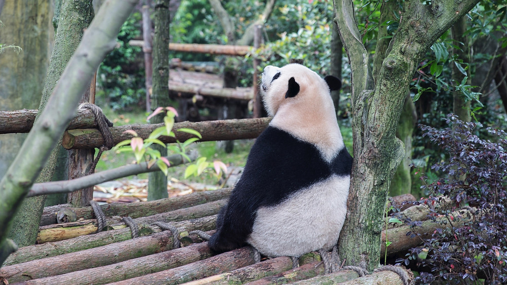 A lone panda rests at the Chengdu Panda Center in China's Sichuan Province