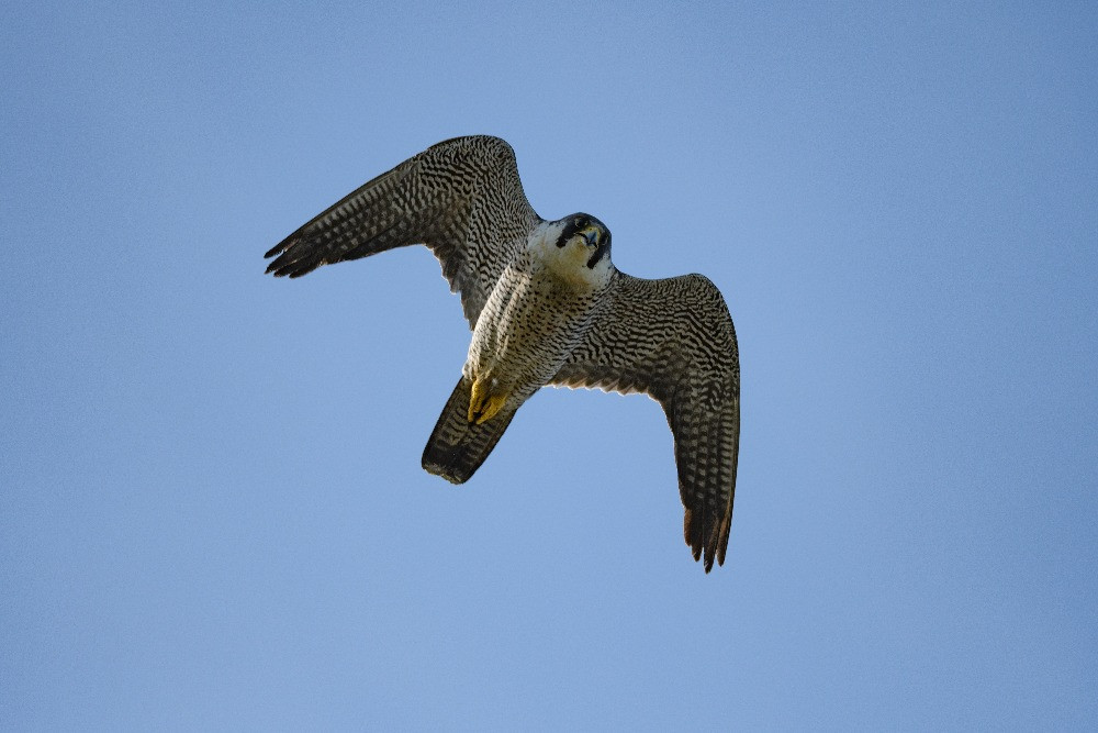 カメラを見下ろすハヤブサ / A falcon looking down the camera