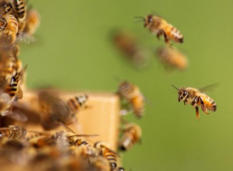 הרצאה- עולמן המופלא של הדבורים