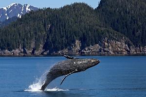 humpback whale breaching in Alaska near Kenai