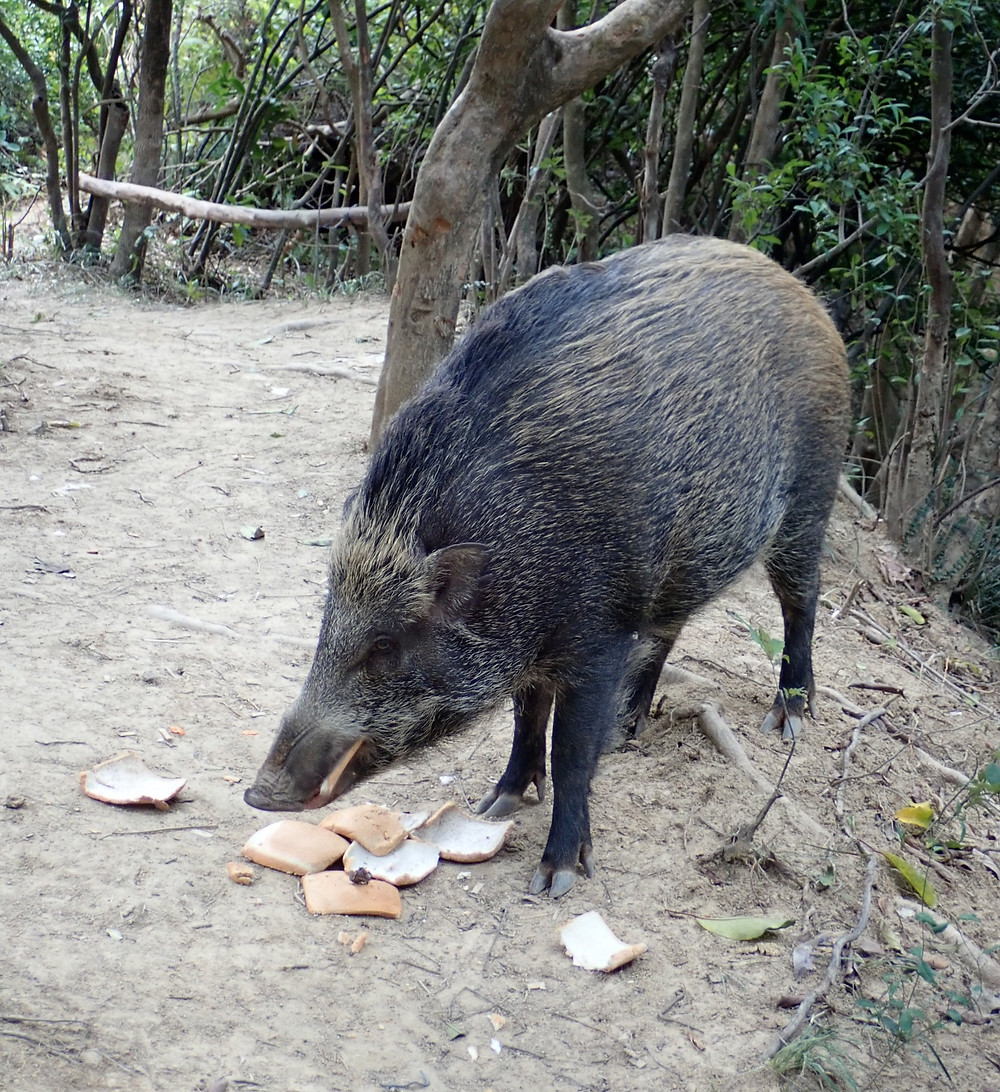 People Feeding this Female Wild Boar with Breads