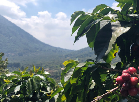Coffee Origins - El Salvador Sierra Nevada