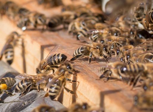 """""""Welche Biene nehme ich zum Imkern?"""""""