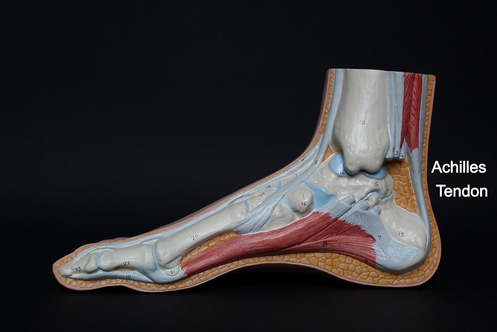 Foot anatomy model