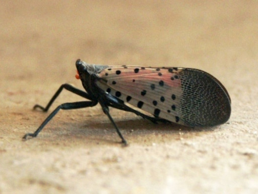 The Spotted Lanternfly Threat
