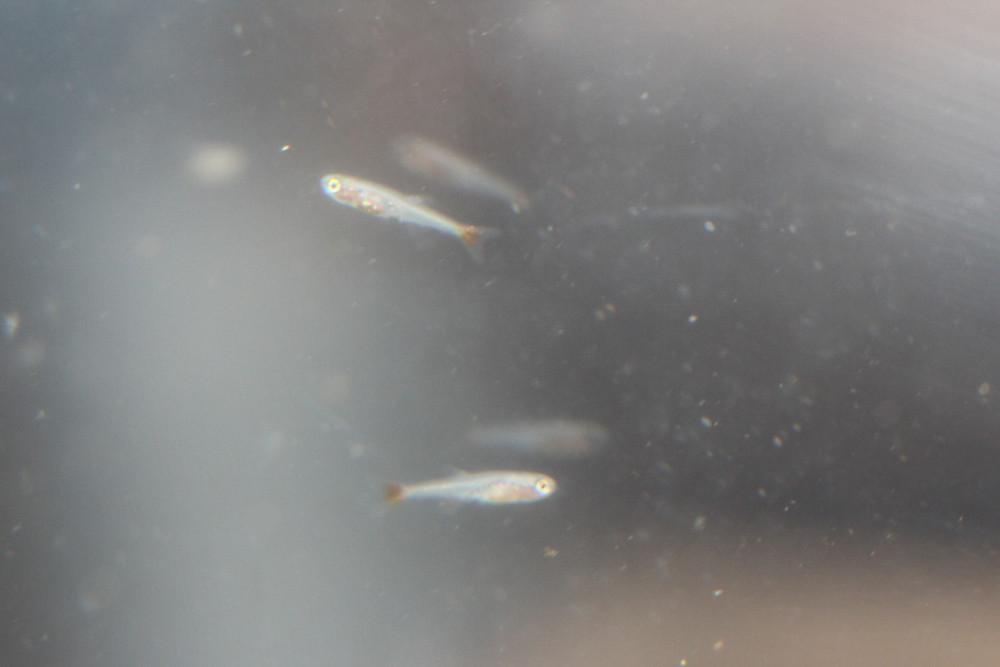 Tanichthys micagemmae (Vietnamese White Cloud or Vietnamese Minnow)