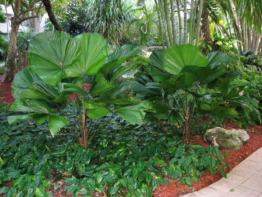 Licuala grandis is a palmate palm