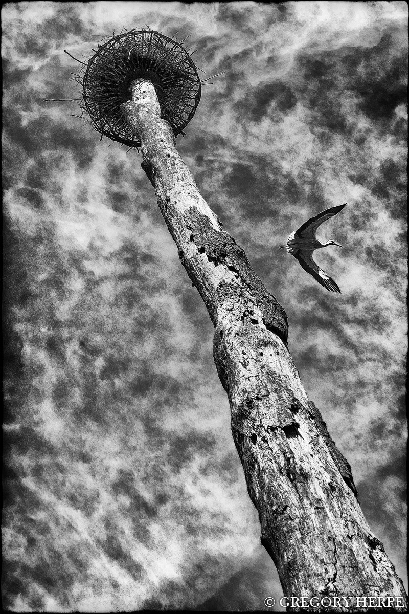 A stork hovering above photographer Gregory Herpe, under a big nest.