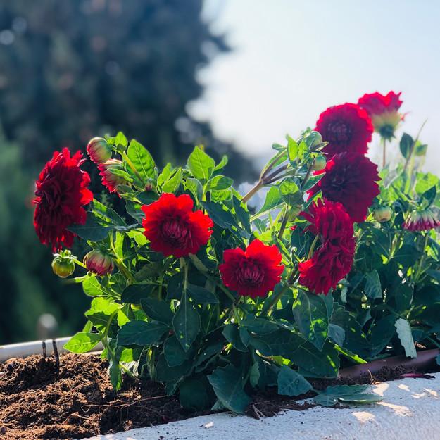 Flowers in Jerusalem