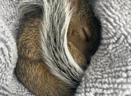 Baby Squirrel Care