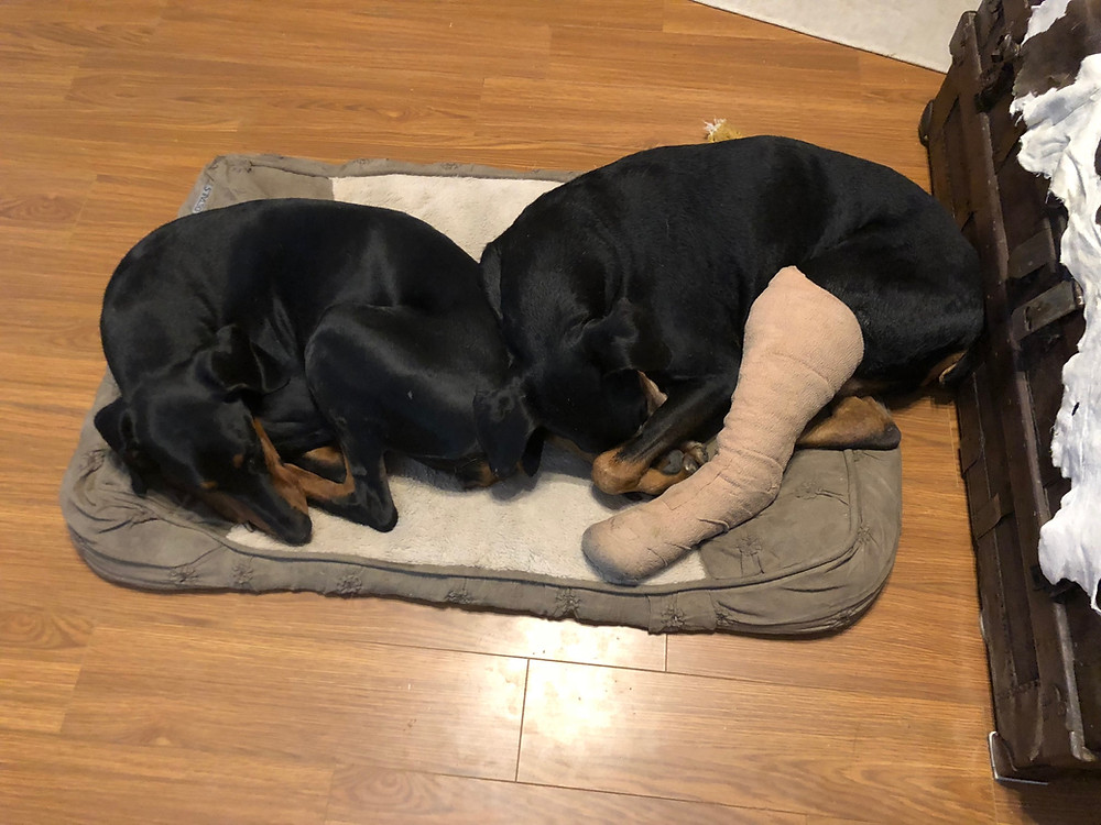 Gretchen, on the left, is 9 months old, and Malawi with his leg in a cast is 9 yrs old. Both are rescue dogs.