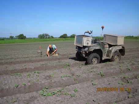 Carrot Fields
