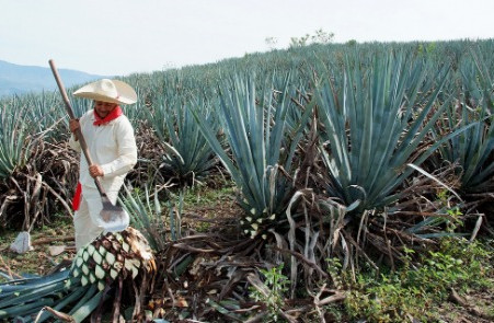Making Great Tequila Starts with Perfectly Harvested Agave