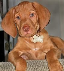 Viszla puppy