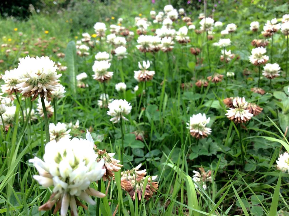 wildflower lawns