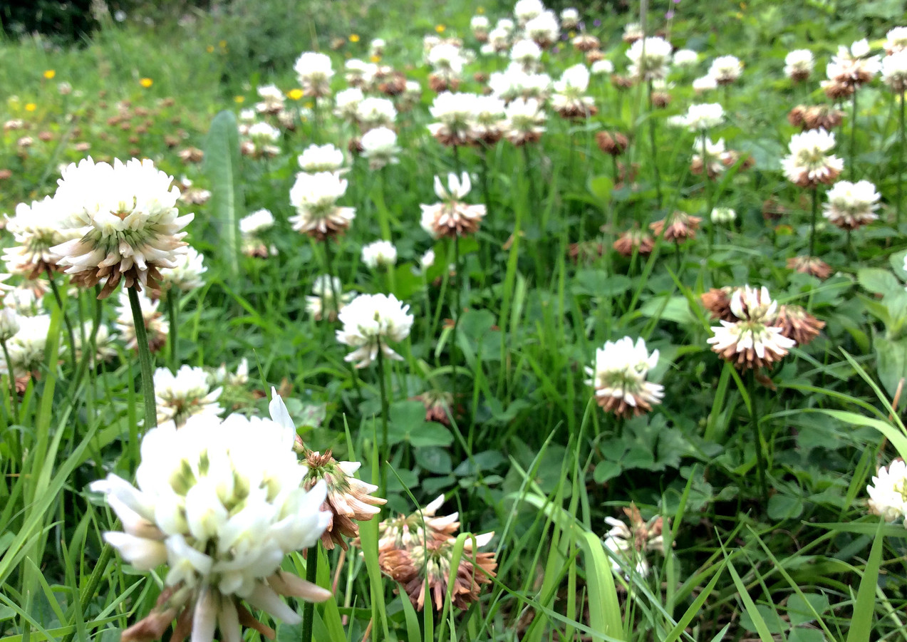 White clover in a lawn mix.
