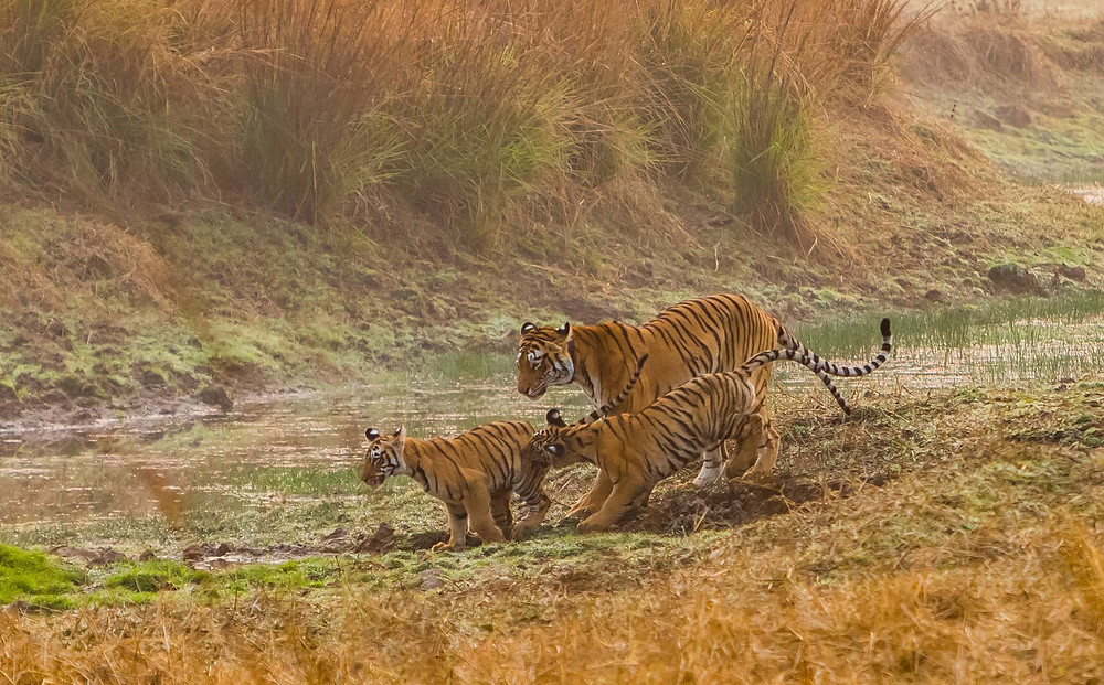 Tadoba tigress
