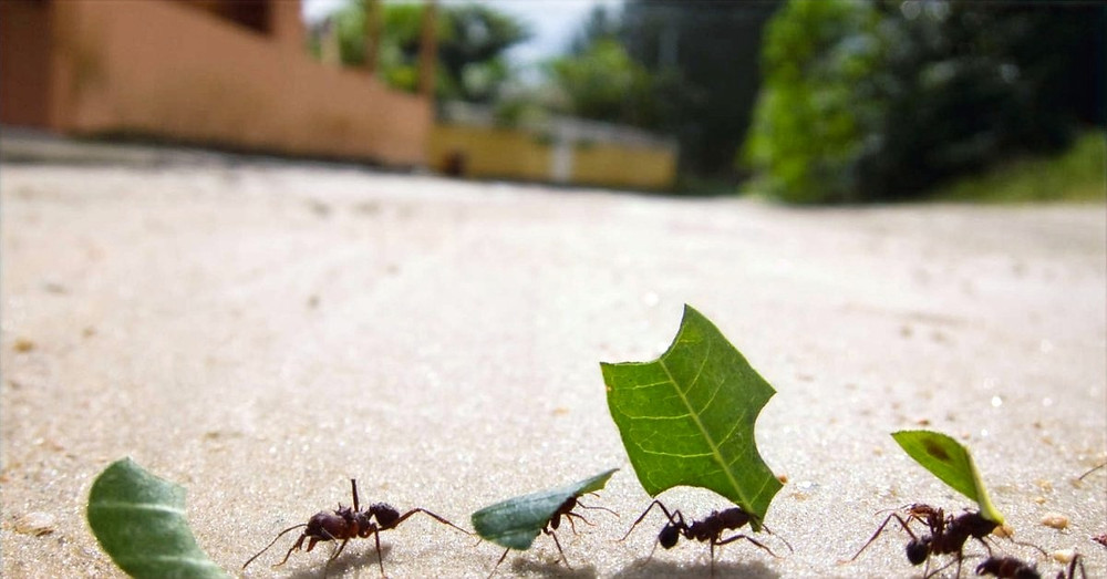 What can Ants Tell us About leadership?