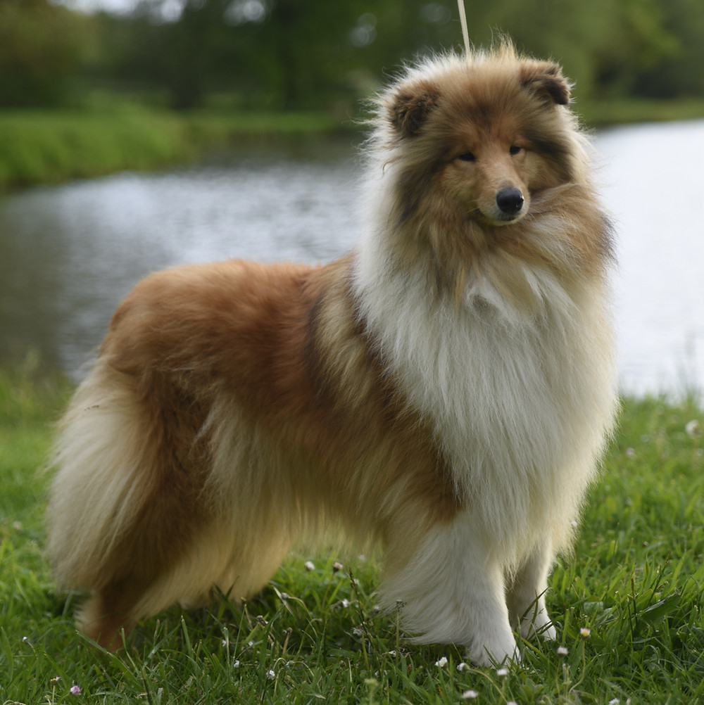 rough collie arena