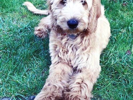Socialisation during isolation | Cambridge Puppy Training