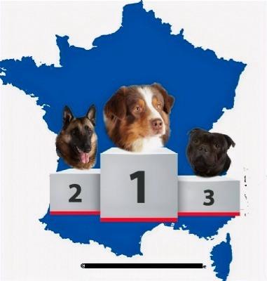 Le berger australien reste le chien de race préféré des Français
