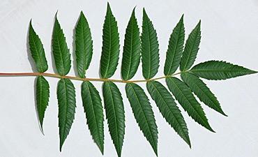 sumac tree leaf
