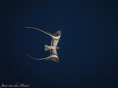 Pennant-winged Nightjar