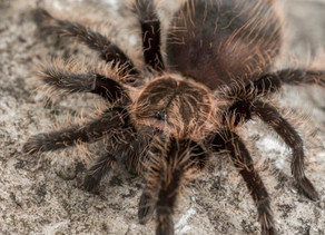Tarantula Venom Could Be Used to Alleviate Chronic Pain without Adverse Side-Effects