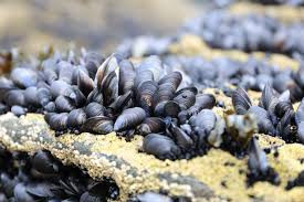 Sustainable Seafood: Rock Cod and Mussels with Cilantro Drizzle