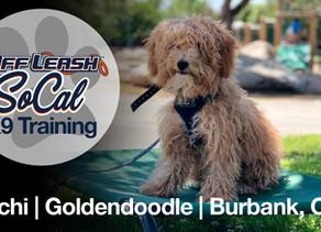 Mochi | Goldendoodle | Burbank, CA