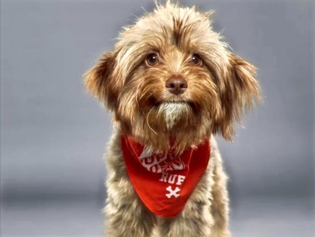 Katy Pups Set to Compete in Animal Planet's 'Puppy Bowl'