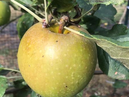 Last chance to get 2020 apples - Honeycrisp, Belle de Boskoop