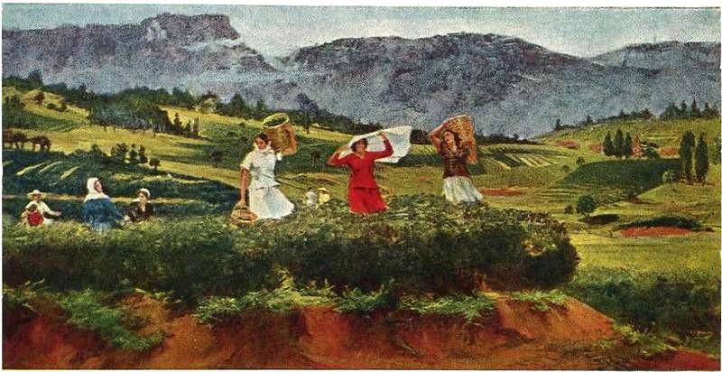 История Грузинского чая до наших дней