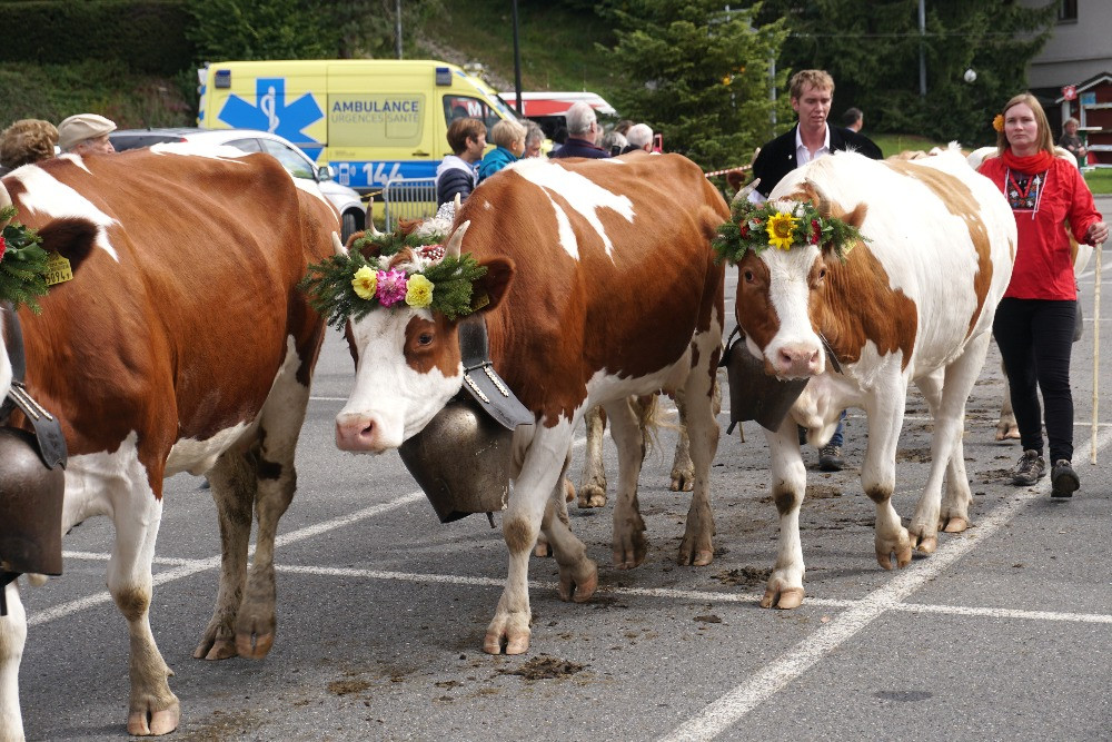 גריון, חגיגות הורדת הבקר, שווייץ