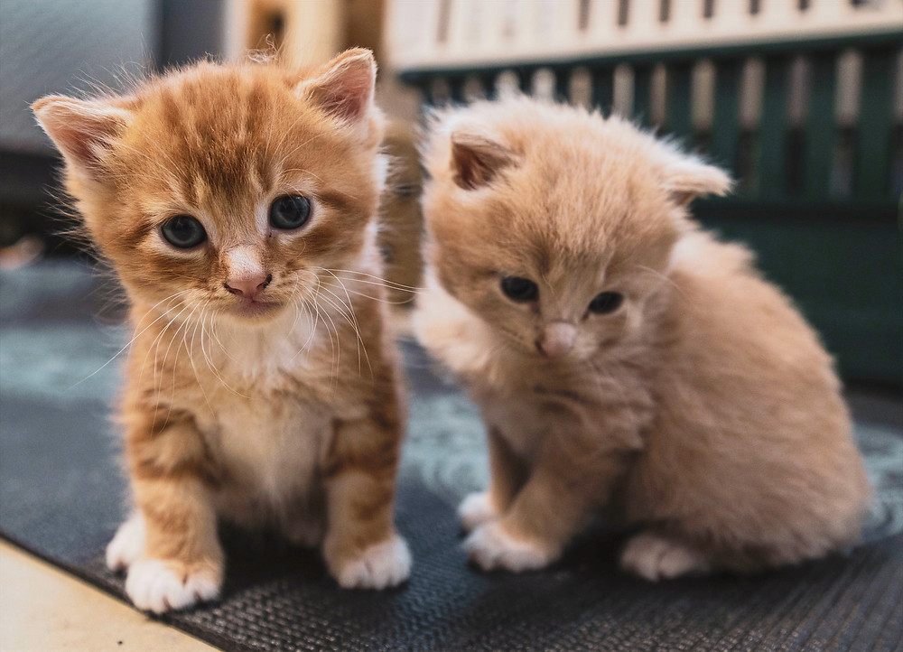 A photo of two kittens are live at home with a lovely family.