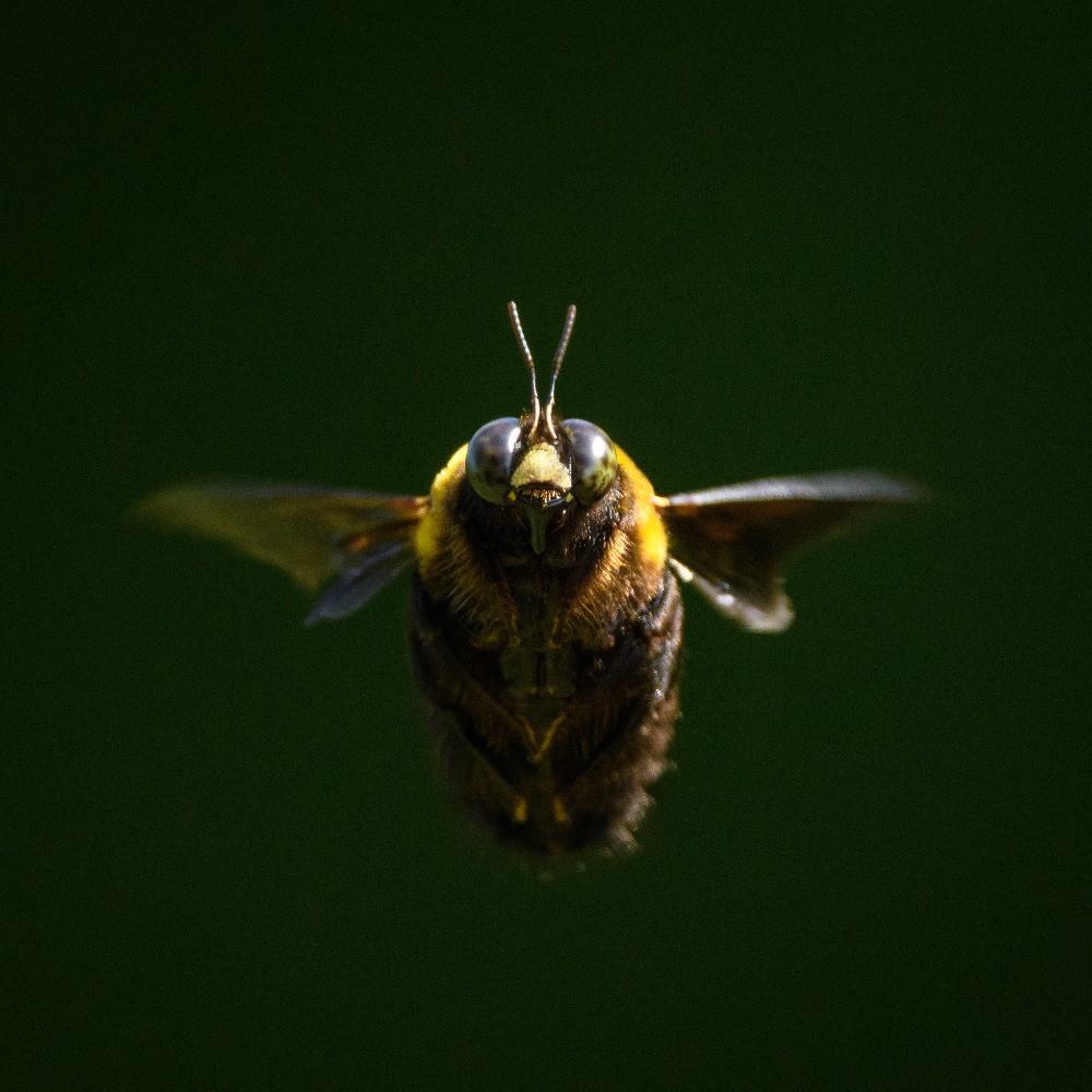 ハナアブの仲間 / A hoverfly