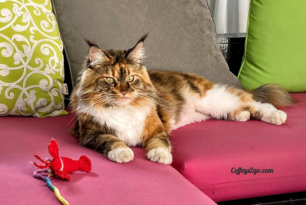 Maine Coone cat pet sitting Coffeys2Go photo photography sitter Portola Valley California CA