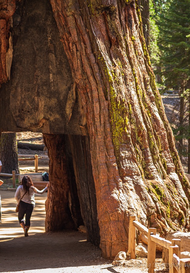 Giant Sequoia carved out in the middle with person, Mariposa Grove, Yosemite National Park, California.  nature, wilderness, trees, giant sequoia trees