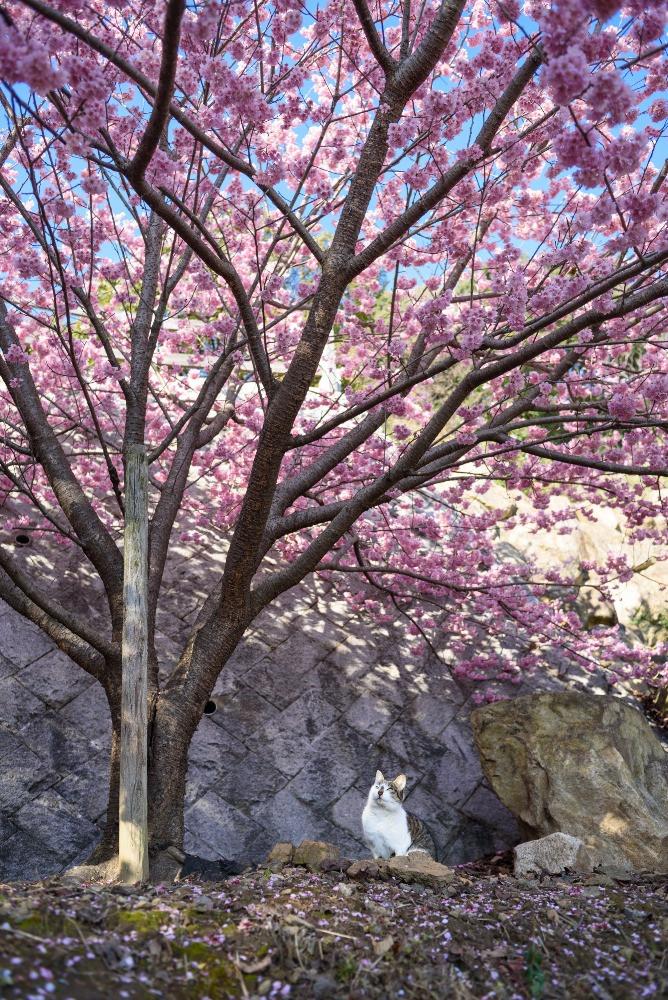 猫と桜 / A cat and cherry blossoms