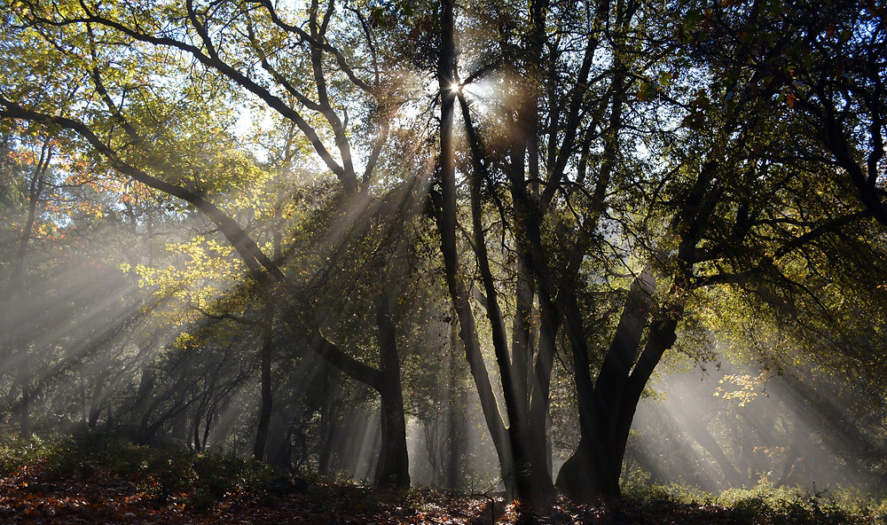 Large trees in a forest. The sun shines filters through the tree branches.
