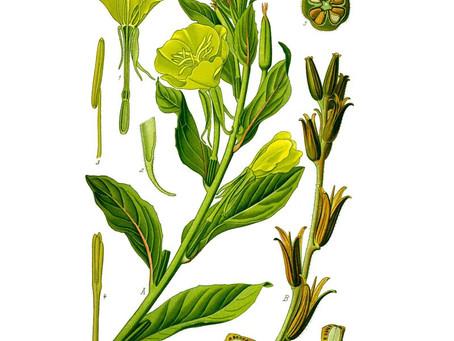 Evening Primrose Oil (Oenothera Biennis L.)