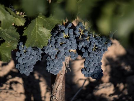 Pruina, el polvo blanco de las uvas