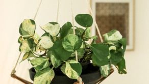 Secret to growing a bushy and healthy money plant