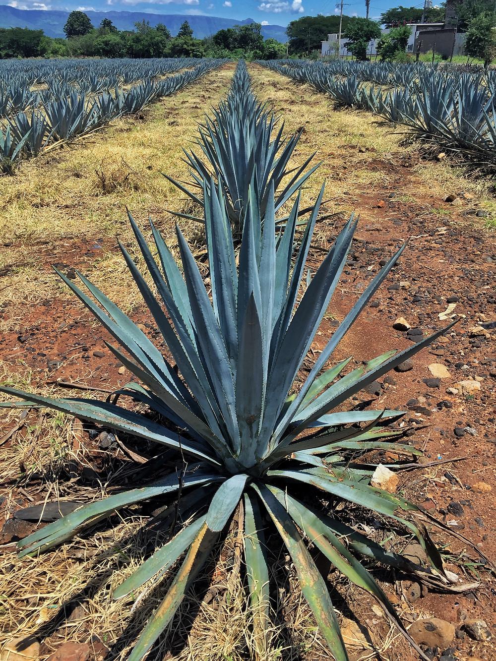 Tequila plant