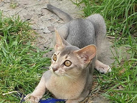 AGILE ABYSSINIANS