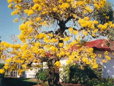 Tabebuia caraibea / Yellow Tabebuia